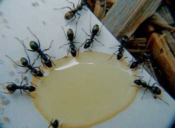 Swarming ants want water, not food.